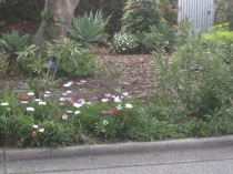 Little footpath garden with gazanias