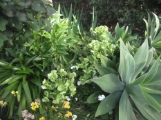 Succulents and hellebores (and other things)