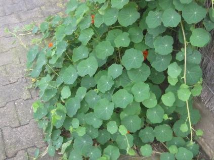 nasturtiums peeking out through their leaves
