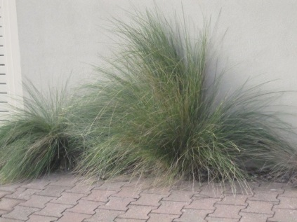Grass of some kind against a wall