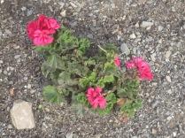Geraniums - or pelargoniums
