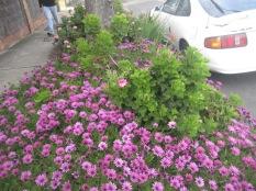 Are the pink flowers gazanias