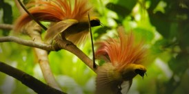 bird of paradise 18