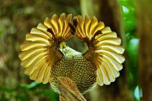 Paradise Riflebird (Ptiloris paradiseus) Young male performing practice display