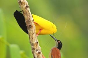 bird of paradise 22