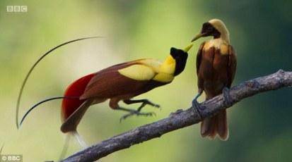 bird of paradise 24