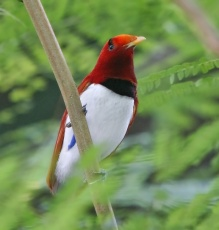 bird of paradise 25