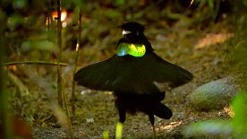 bird of paradise 5