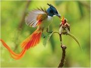 bird of paradise 9