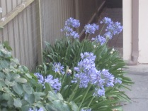 These were taken at my sister's place - the plants transplanted from our garden in Auburn years ago