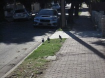 Three magpies running up the road ahead of me