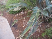 Another view of the leaf and the swept ground