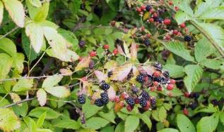 blackberries - the berries