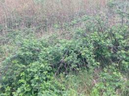 blackberry thicket