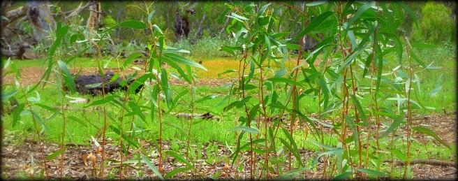 red gum seedlings