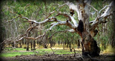 a big old redgum off the internet with thanks to the photographer