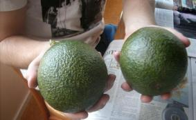 Reed avos can be huge