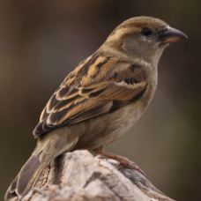 Sparrow -note the beautiful shades of its feathers...