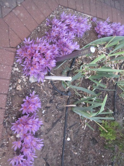Purple clump in someone's garden (this has come out sideways for some reason!)