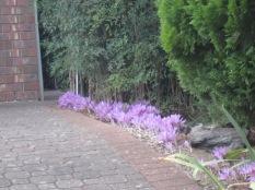Line of purple crocuses