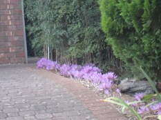 Line of purple crocuses