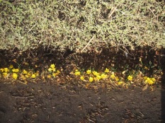 Yellow flowers in the sun beneath a hedge