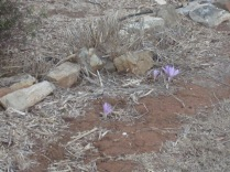 In our very dry garden - purple blooms blooming through the hard ground