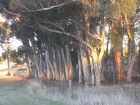 Late sun on the tree trunks