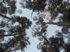 Looking straight up from within the grove