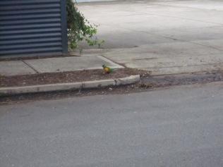 Parrot in E St Torrensville