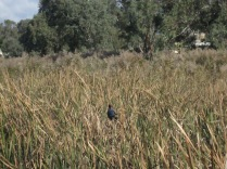 Purple swamp hen standing on the reeds