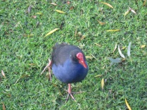 Purple swamp hen close up