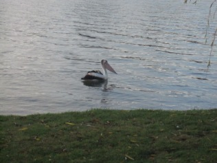 Pelican on the river in front of the cabin at the caravan park where we stayed
