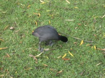 Coot eating