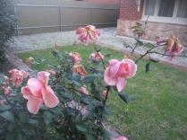 Lorraine Lee roses - beautiful scent