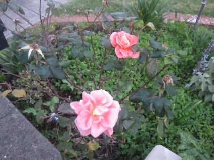 Pink roses at various stages of blooming