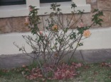 Tatty roses on a tatty bush