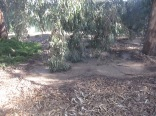 The gum tree leaves have swept circles on the ground