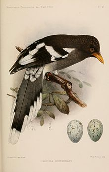 White winged magpie