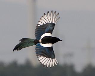 Eurasian magpie flying
