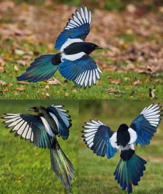 Black billed magpies flying
