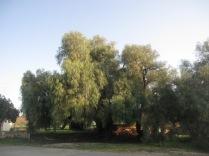 Big pepper tree next to the bridge