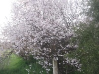 Blossoms at the shop