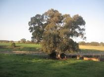 Tree near the new bridge