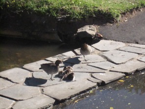Ducks, two adults and ducklings, adults both standing on one leg