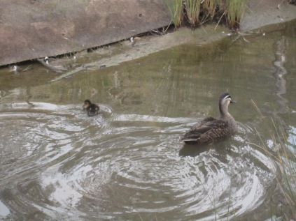 Duckling and adult