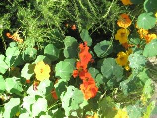 Nasturtiums in the garden