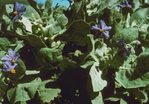 Solanum Ashbyae again