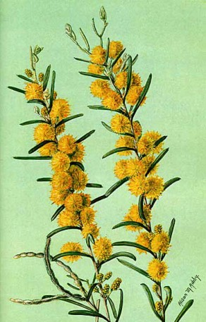 Acacia Ashbyae painted by Alison