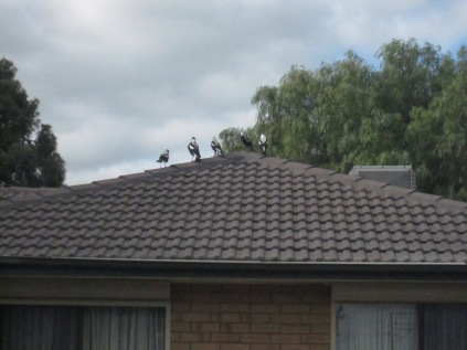 Spied on a roof when I was going to a home visit from work - not a good shot, but unusual to see 5 altogether like this